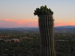 Saguaro in Bloom, May 8, 2010